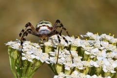一只蜘蛛的美丽的宏观射击在一朵花的在狂放 免版税库存照片