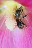 一只蜜蜂在工作 免版税库存照片
