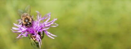 一只蜜蜂的横幅如工作在花 库存图片