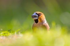 一只蜡嘴鸟的头在草坪 库存图片
