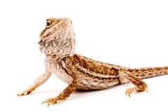 一只蜥蜴有胡子在空白背景 免版税库存照片