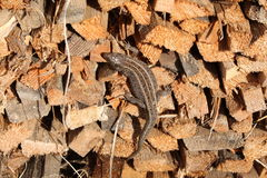 一只蜥蜴 库存照片