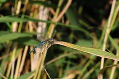 一只蜻蜓的特写镜头在藤茎的 免版税图库摄影