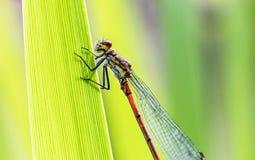 一只蜻蜓的画象在叶子的 免版税库存图片