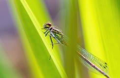 一只蜻蜓的画象在叶子的 库存图片