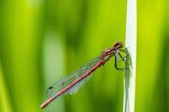 一只蜻蜓的画象在叶子的 免版税库存照片
