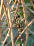 一只蜻蜓 库存图片