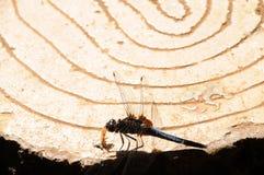 一只蜻蜓 库存照片