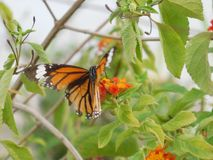 一只蝴蝶的一张美丽的照片在花的 免版税库存图片