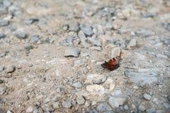 一只蝴蝶的夏天和春天照片在岩石地面的 作为背景的美好的多彩多姿的蝴蝶宏指令您的 免版税图库摄影