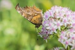 一只蝴蝶的特写镜头与小白花的与浅红色的小点 图库摄影