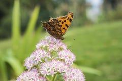 一只蝴蝶的特写镜头与小白花的与浅红色的小点 免版税库存照片