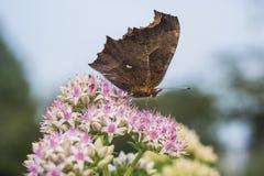 一只蝴蝶的特写镜头与小白花的与浅红色的小点 免版税库存图片