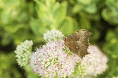一只蝴蝶的特写镜头与小白花的与浅红色的小点 免版税图库摄影