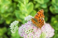 一只蝴蝶的特写镜头与小白花的与浅红色的小点 库存照片