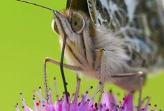 一只蝴蝶的特写镜头在花的 库存图片