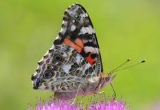 一只蝴蝶的特写镜头在花的 库存照片