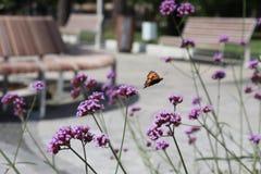 一只蝴蝶的飞行在一朵紫色花的 一朵花在一个公园在花圃里 免版税库存图片