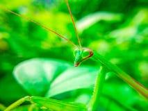 一只螳螂横渡叶子 库存图片
