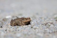 一只蟾蜍的画象在春天 库存图片