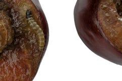 一只蠕虫的幼虫在一棵红色樱桃的 免版税库存照片