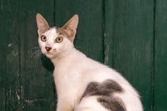一只街道猫的画象反对一个木绿色门的 免版税库存照片