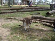 一只袋鼠 澳洲 免版税库存图片