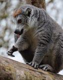 一只被加冠的狐猴 免版税库存照片