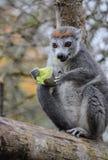一只被加冠的狐猴 库存图片