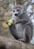 一只被加冠的狐猴 免版税图库摄影