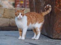 一只被注视的街道猫 库存图片
