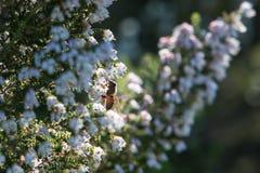 一只被点燃的蜂蜜蜂坐埃里卡福摩萨开花 库存照片