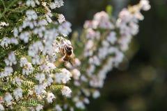 一只被点燃的蜂蜜蜂坐埃里卡福摩萨开花 免版税图库摄影
