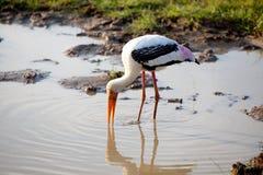 一只被绘的鹳在Yala的Nationalpark一个池塘钓鱼 免版税图库摄影