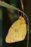一只被覆盖的suphur蝴蝶 免版税库存照片
