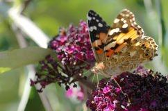 一只被绘的夫人蝴蝶 库存图片