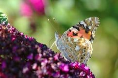 一只被绘的夫人蝴蝶 库存照片