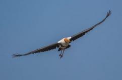 一只被绘的鹳鸟 免版税库存图片