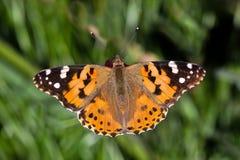 一只被绘的cardui夫人(Vanessa)蝴蝶的特写镜头 免版税库存照片