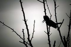 一只装甲翠鸟的剪影 免版税库存照片