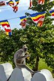 一只装缨球灰色叶猴在斯里兰卡喜欢吃香蕉在Thuparama Dagoba 免版税库存图片