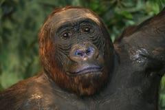 一只西部凹地大猩猩的顶头射击 库存图片