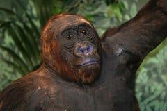 一只西部凹地大猩猩的画象 免版税库存照片