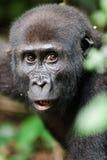 一只西部凹地大猩猩(大猩猩大猩猩大猩猩)的画象 免版税库存图片
