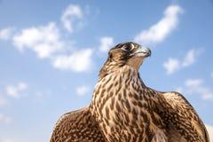 一只训练的展示猎鹰的画象 库存照片
