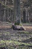 一只说谎的国王棕色雄鹿的特写镜头 库存照片