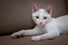 一只说谎的小的蓝眼睛的小猫的画象 免版税图库摄影