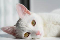 一只说谎的白色猫的画象,明亮的白天 库存图片