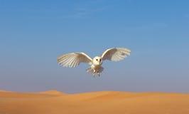 一只谷仓猫头鹰的画象在猎鹰训练术训练期间的 迪拜,阿拉伯联合酋长国 免版税库存照片