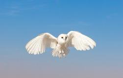 一只谷仓猫头鹰的画象在猎鹰训练术训练期间的 迪拜,阿拉伯联合酋长国 库存照片